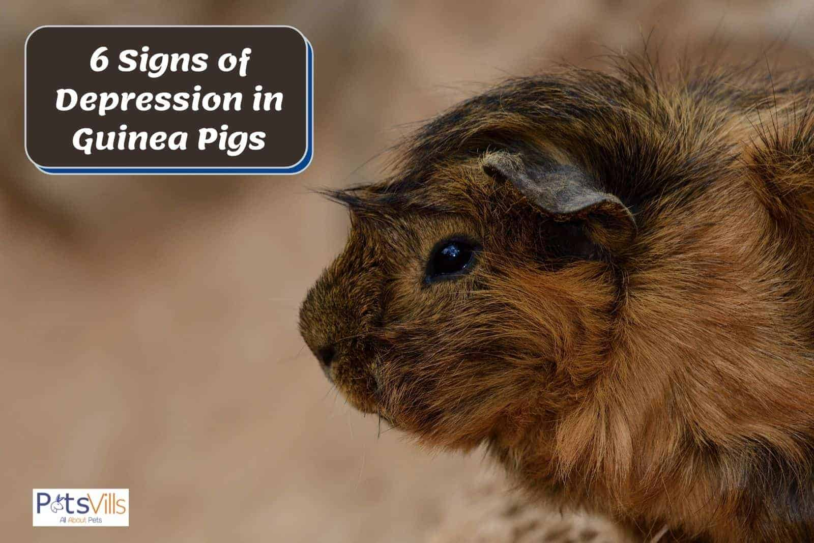 a brown guinea pig who looks depressed