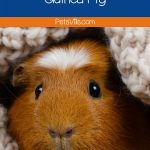 a lonely guinea pig hiding in the blanket