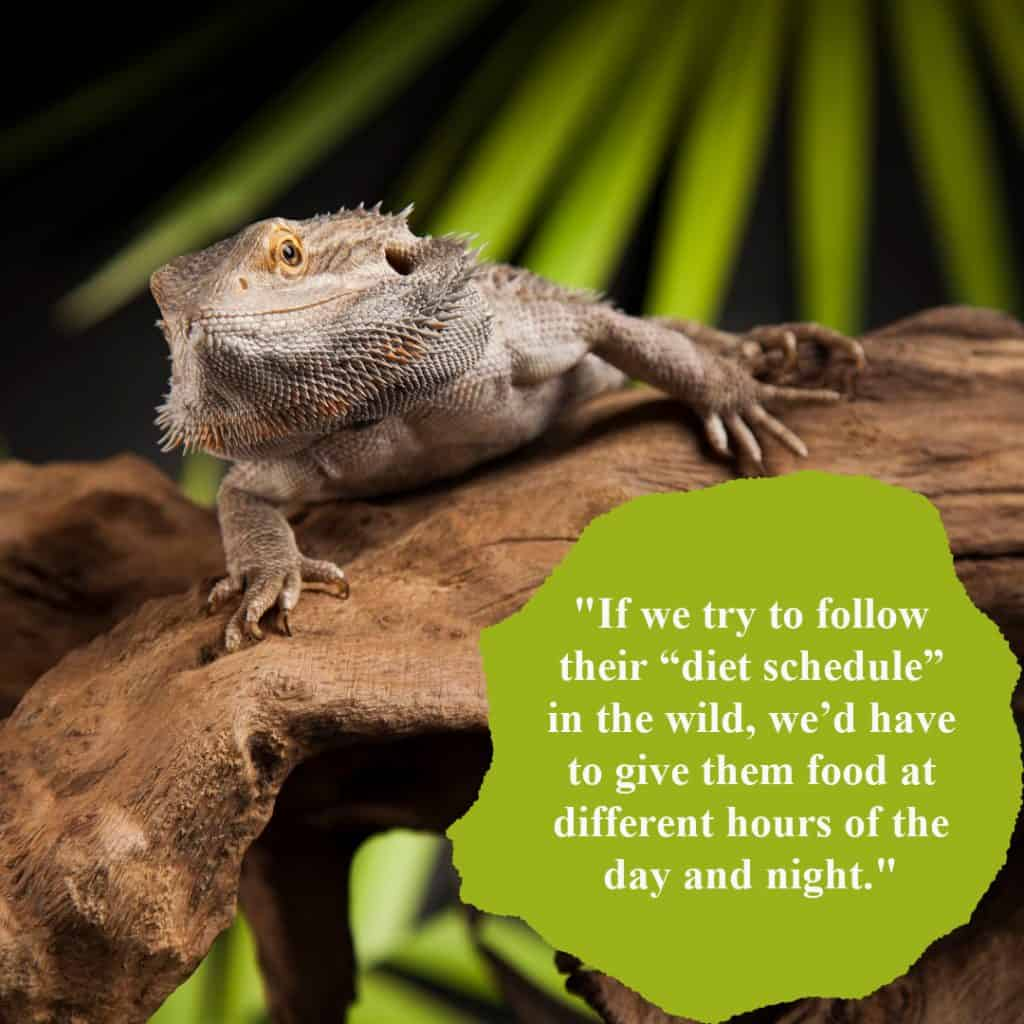 Excerpt from Bearded Dragon Feeding Guide: Safe & Toxic Food list, Cost, Common Food Disorders!