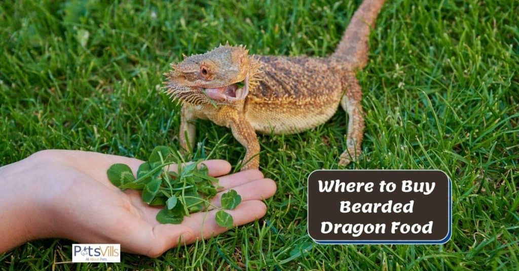 bearded dragon eating with text