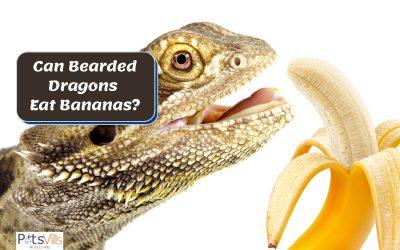 Can I Feed My Bearded Dragon Bananas?