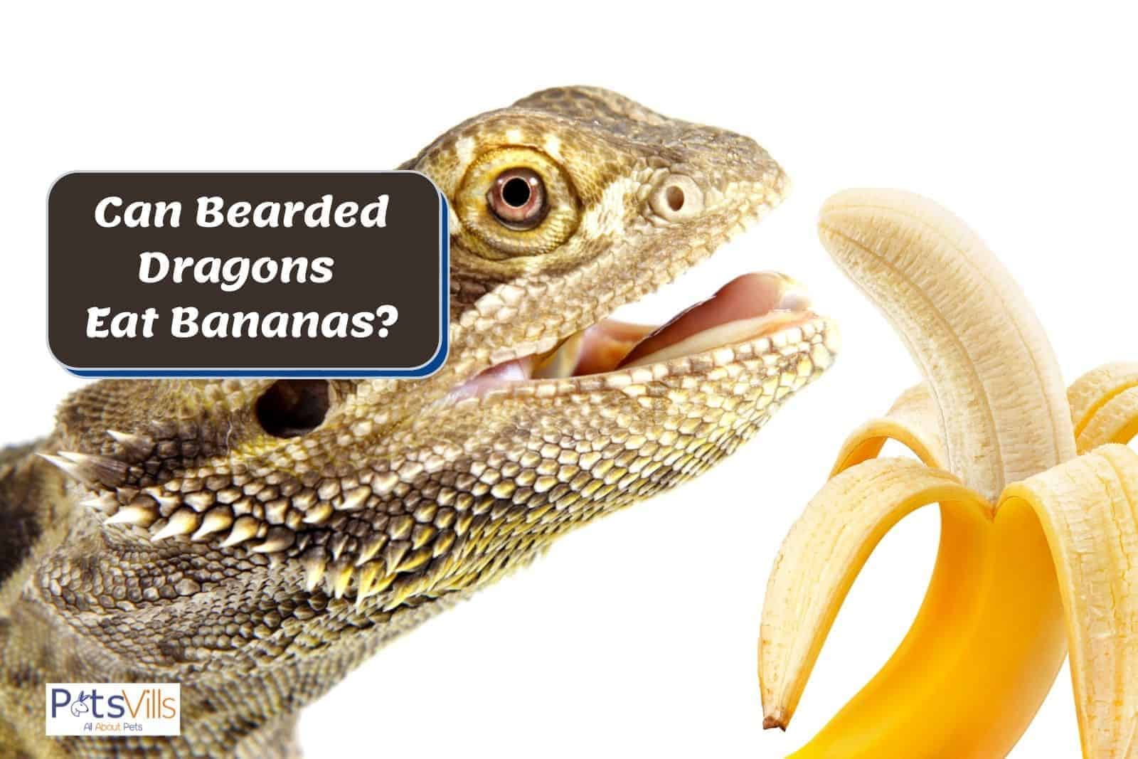 a bearded dragon about to eat a banana but can bearded dragons eat bananas?