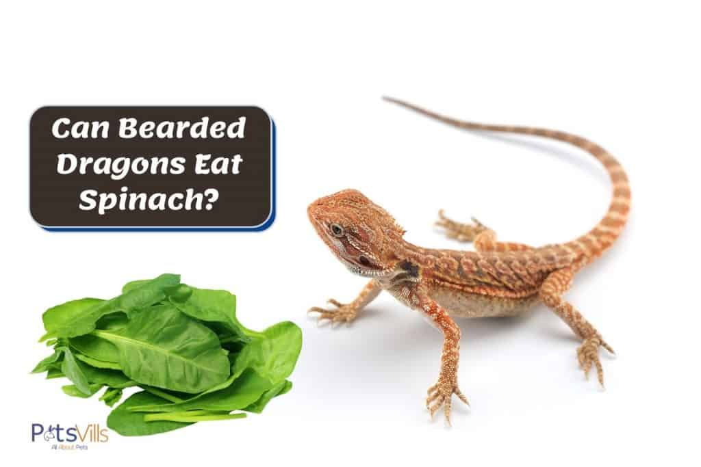 bearded dragon walking towards spinach. can beaded dragons eat spinach?