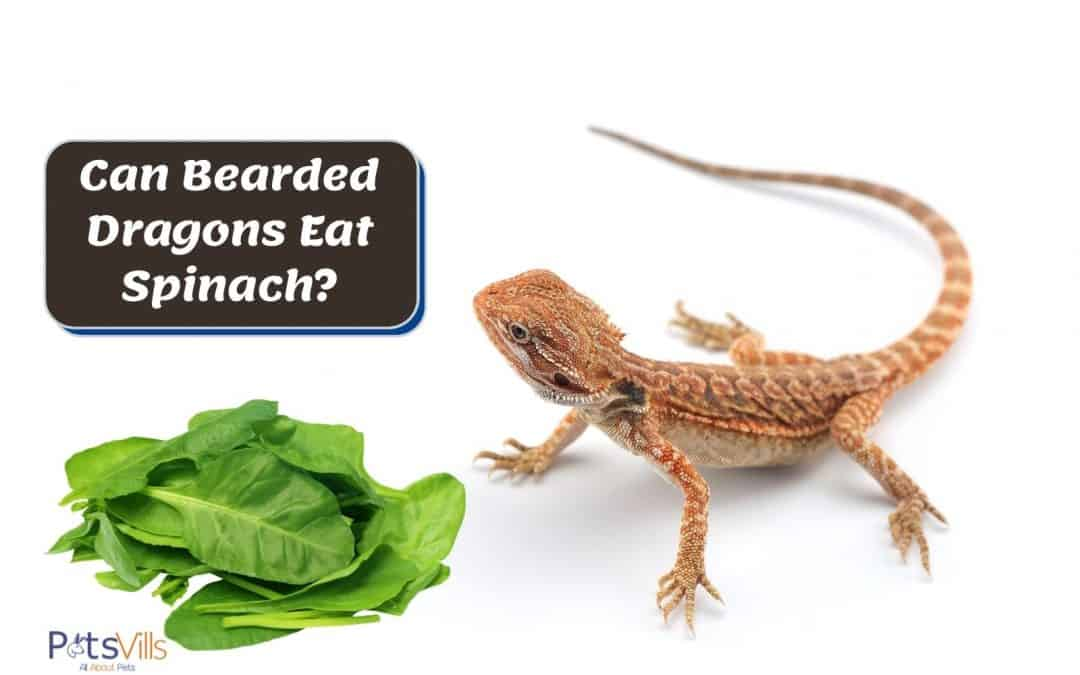 Can Bearded Dragons Eat Spinach? What Are the Pros and Cons?