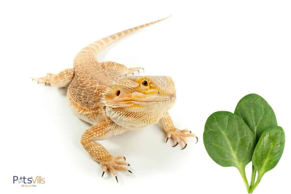 yellow bearded dragon and spinach leaves