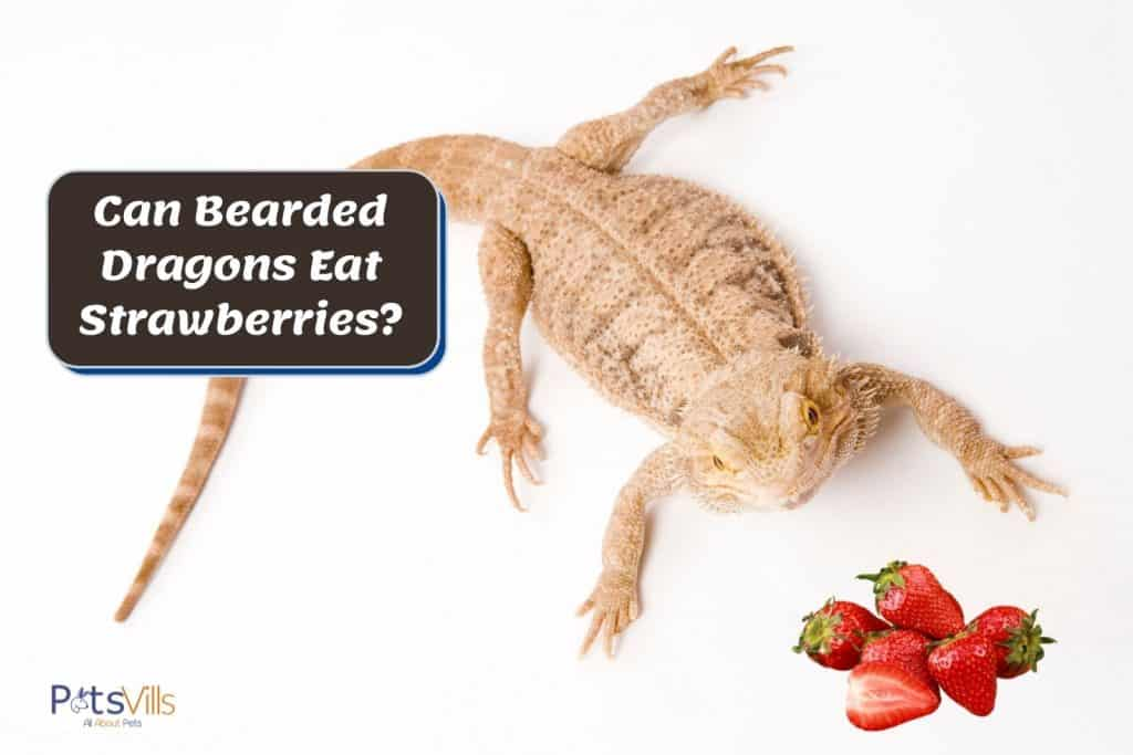 brown bearded dragon and fresh strawberries: can bearded dragons eat strawberries?