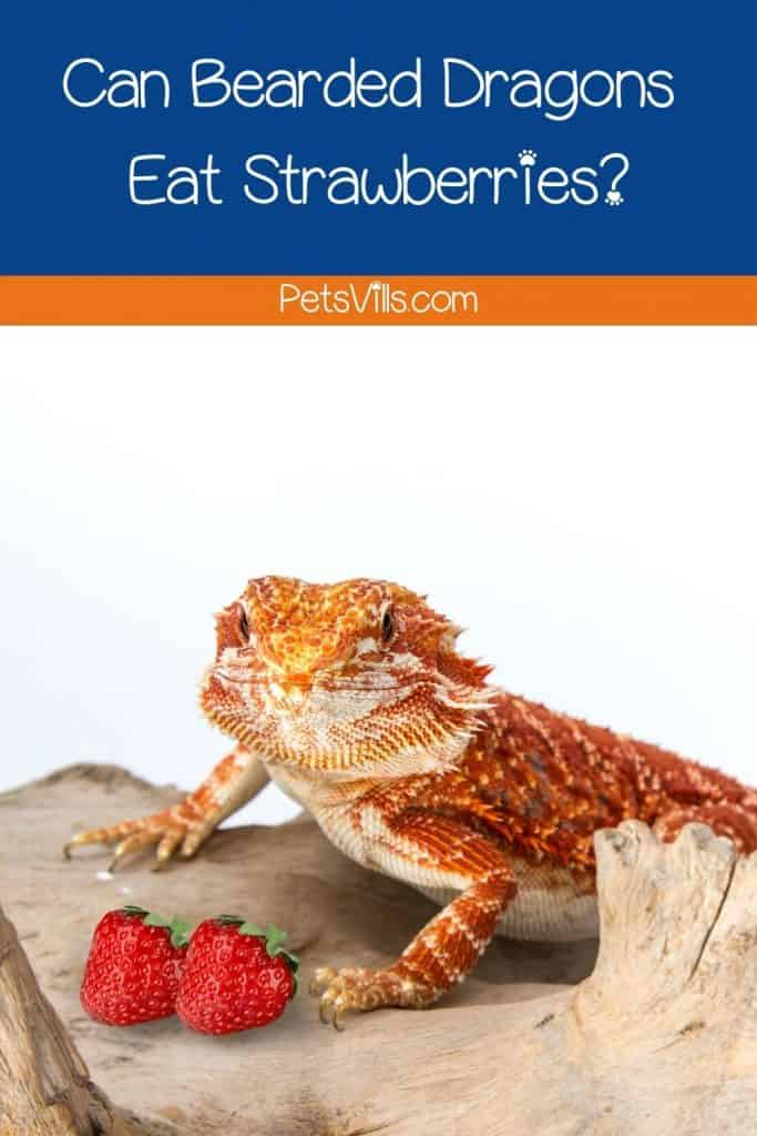 bearded dragon and strawberries