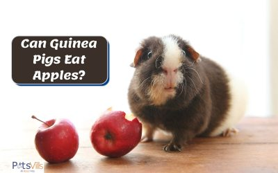 Can Guinea Pigs Eat Apples? What Are Their Health Benefits?