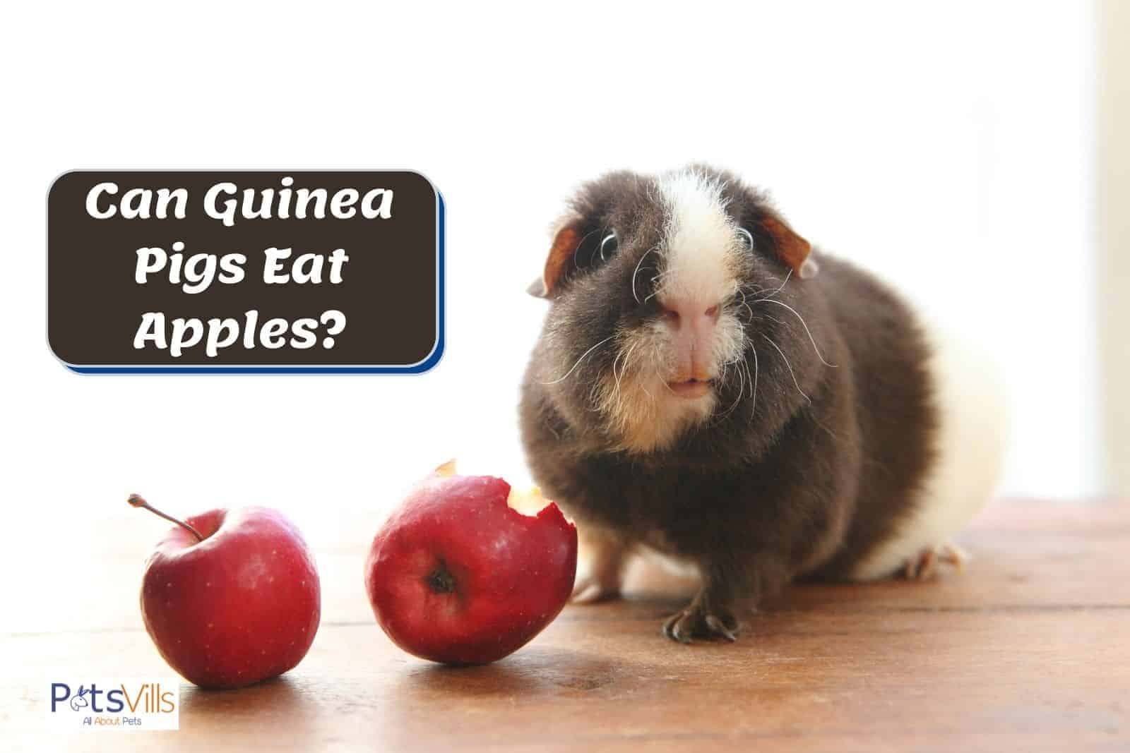 a cute guinea pig with two red apples in front. can guinea pigs eat apples?