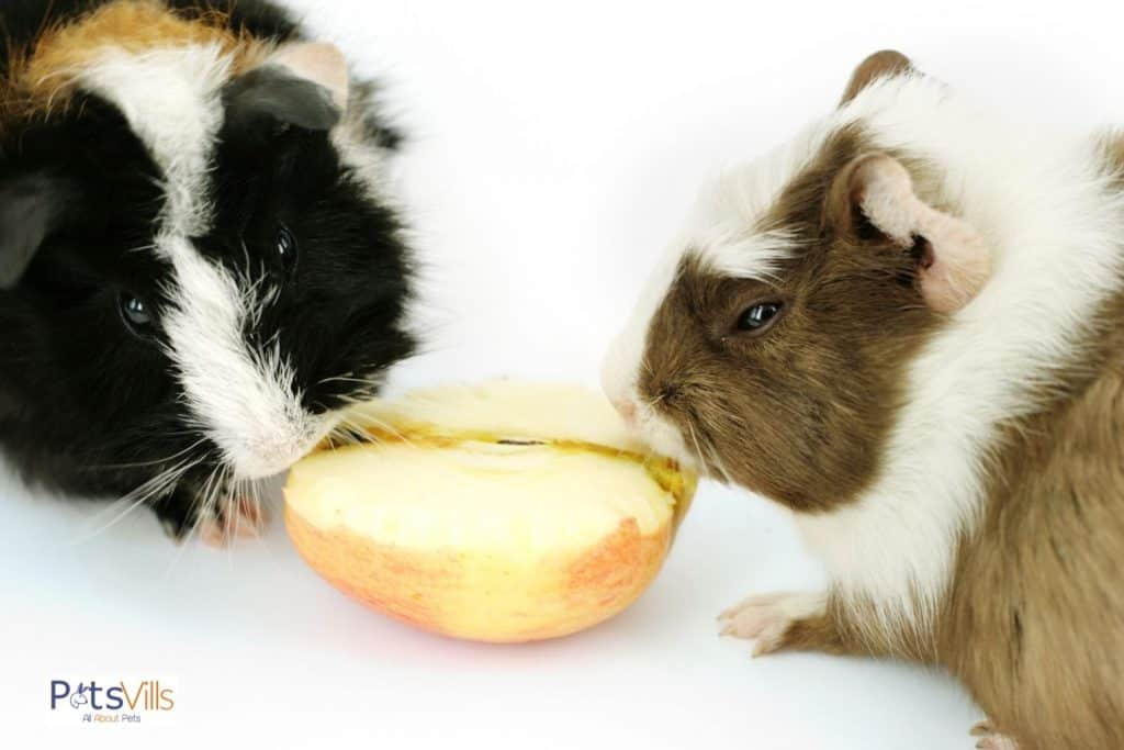 two guinea pigs sharing for one apple