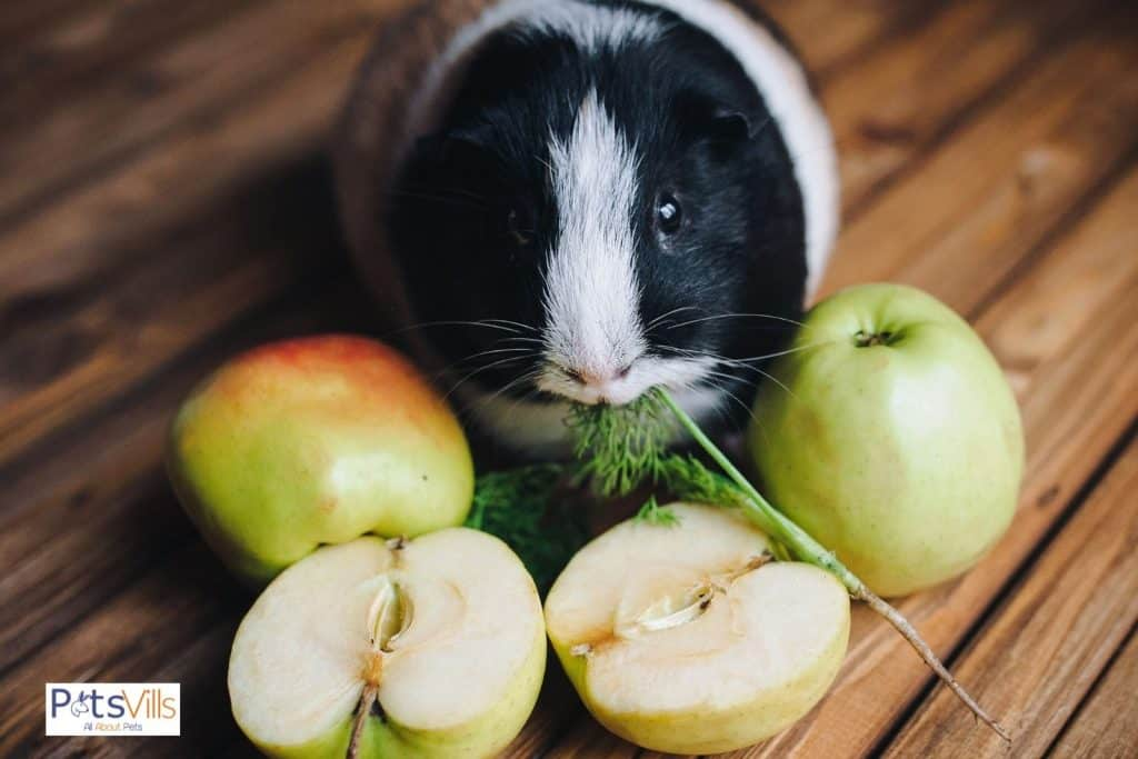 a cute cavy eating a green leaf and green apples