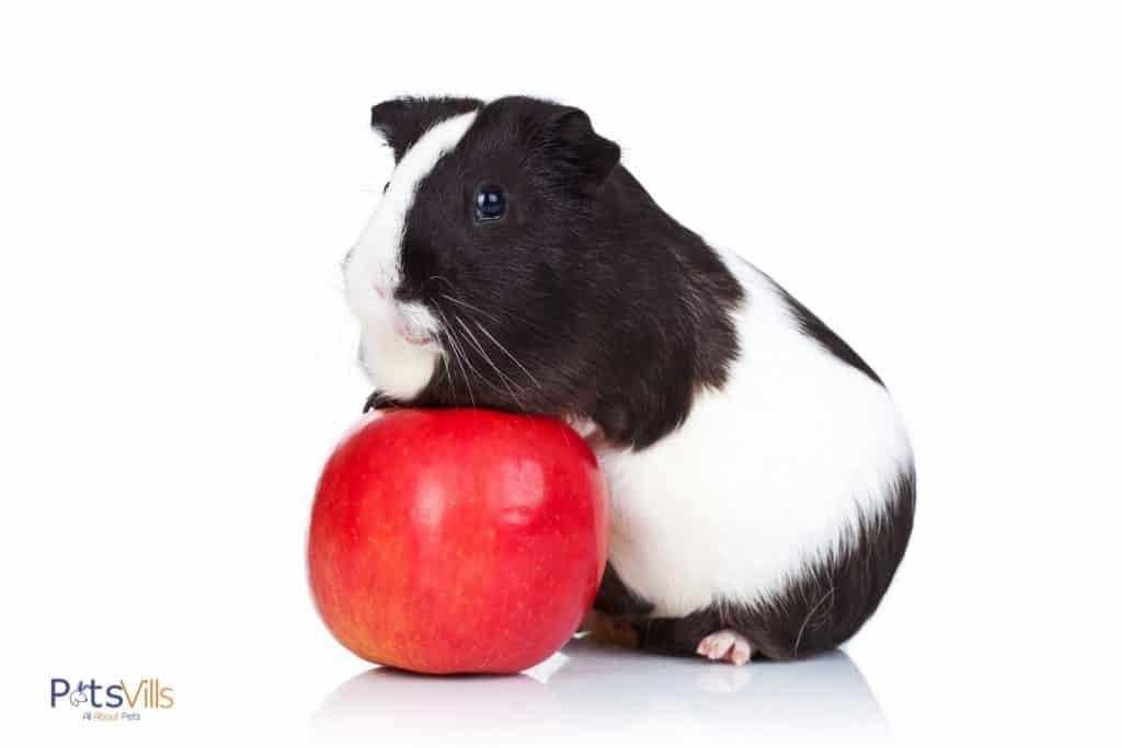 guinea pig seating on top of a red apple
