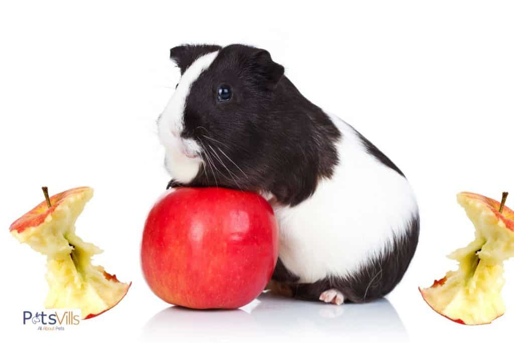 a happy guinea pig with red apple and apple cores: can guinea pigs eat apple cores too?