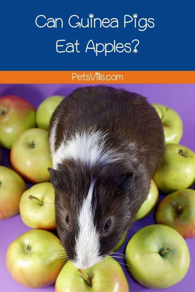 a black and white cavy surrounded by green apples but can guinea pigs eat apples?