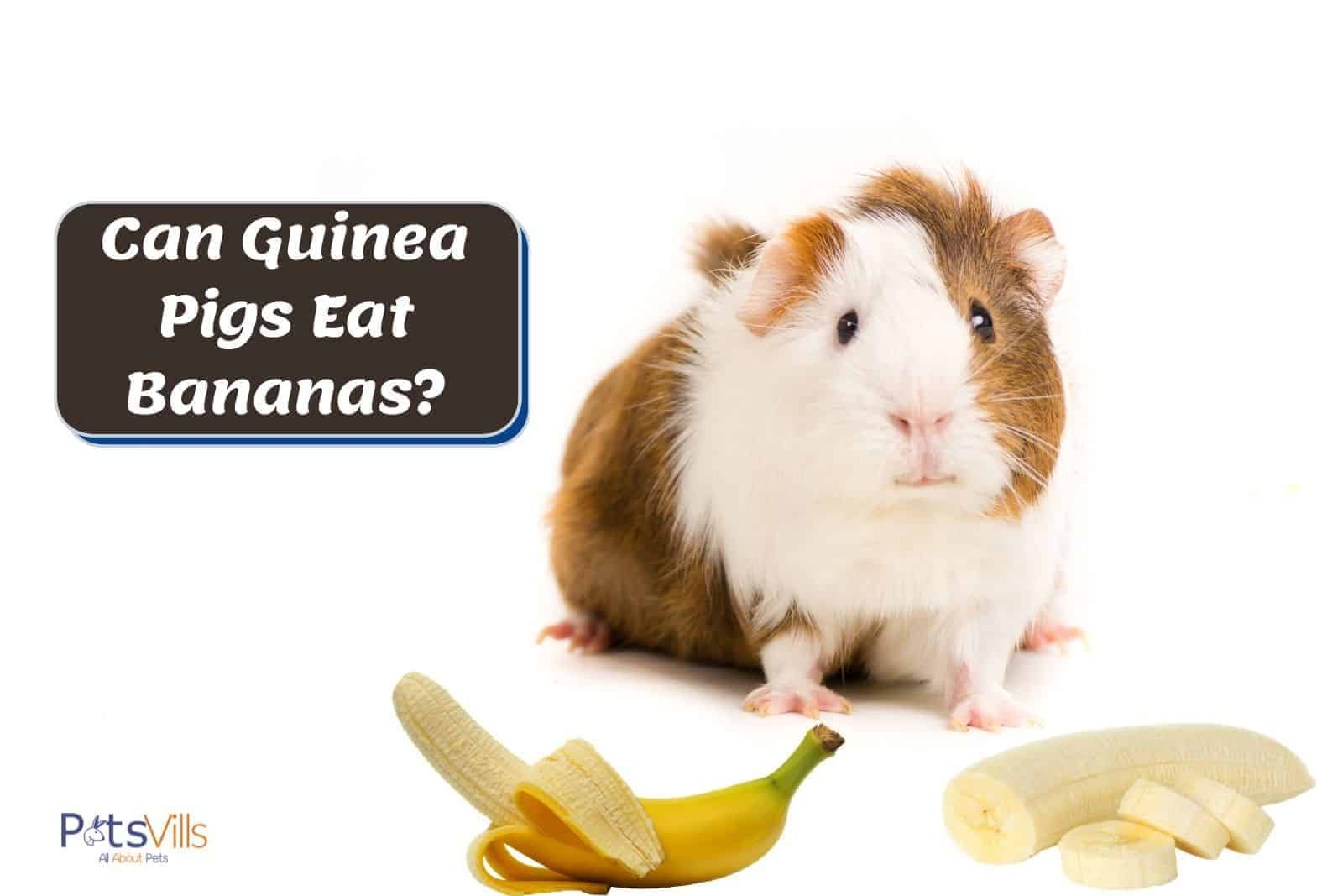 A brown and white guinea pig staring at the peeled bananas. Can guinea pigs eat bananas?