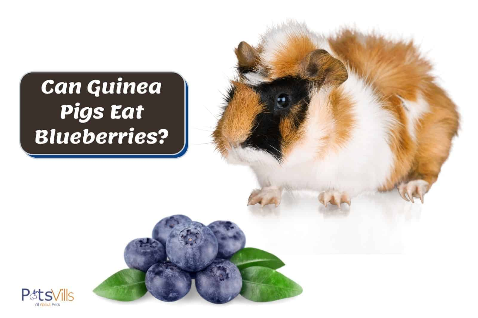 guinea pig in front of blueberries: can guinea pigs eat blueberries?