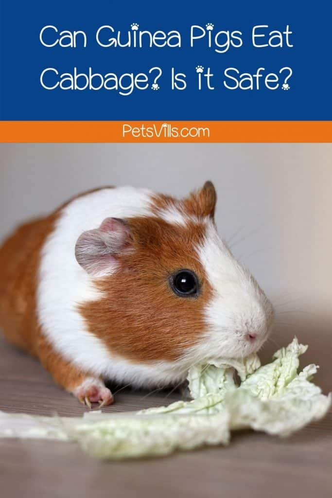 guinea pig chewing a cabbage but can guinea pigs eat cabbage safely?
