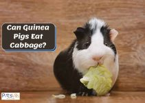Can Guinea Pigs Eat Cabbage? Is it Safe or Not?