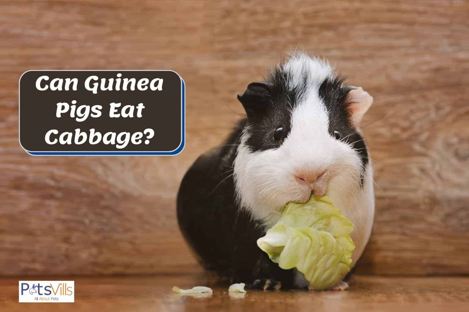 a black and white cavy eating a cabbage but can guinea pigs eat cabbage everyday?