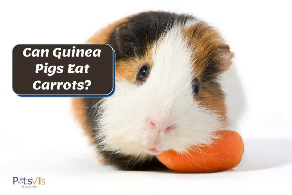 cute guinea pig leaning on a carrot but can guinea pigs eat carrots?
