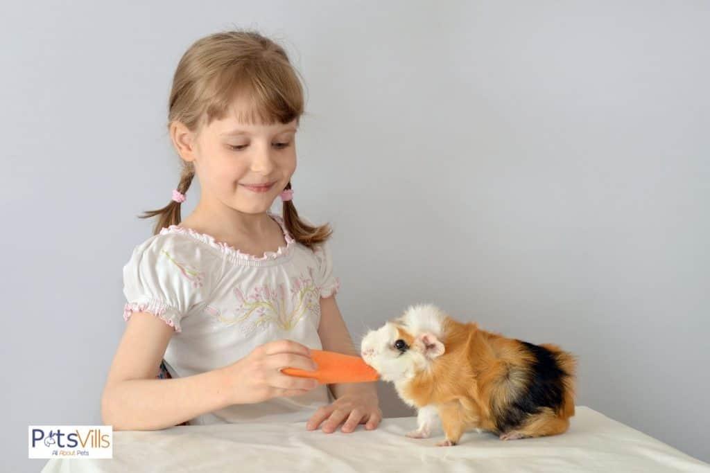 little girl feeding carrot to a guinea pig