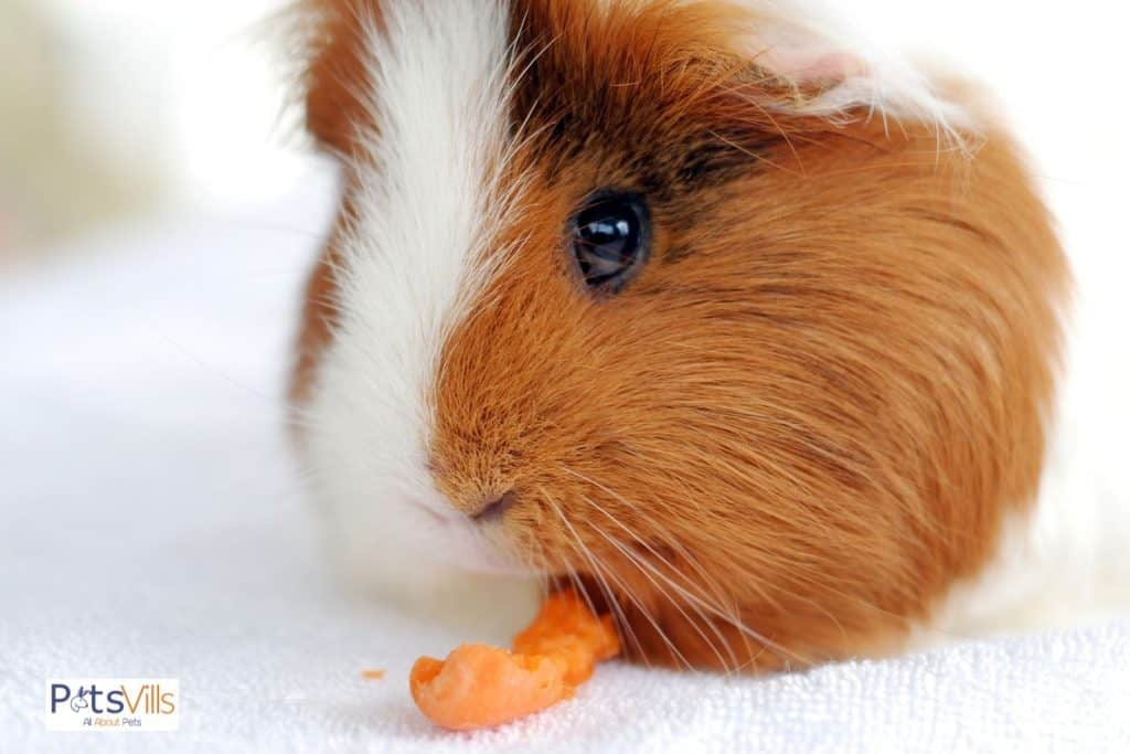 cavy chewing a carrot top
