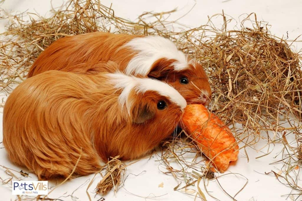 two brown guinea pigs sharing for one carrot