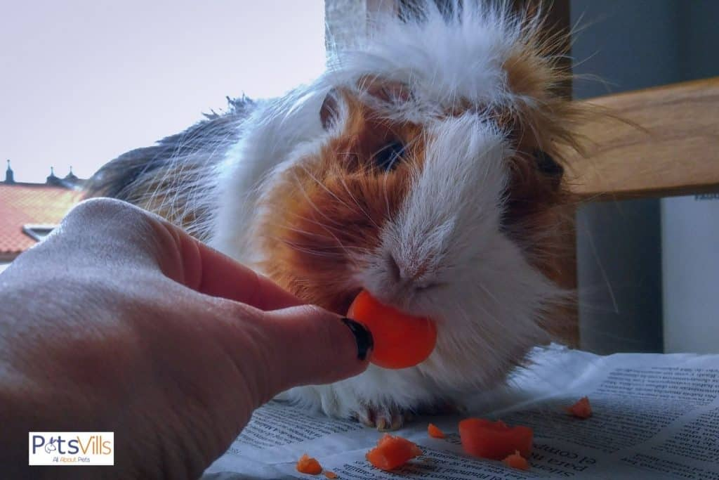 guinea pig eating a piece of carrot