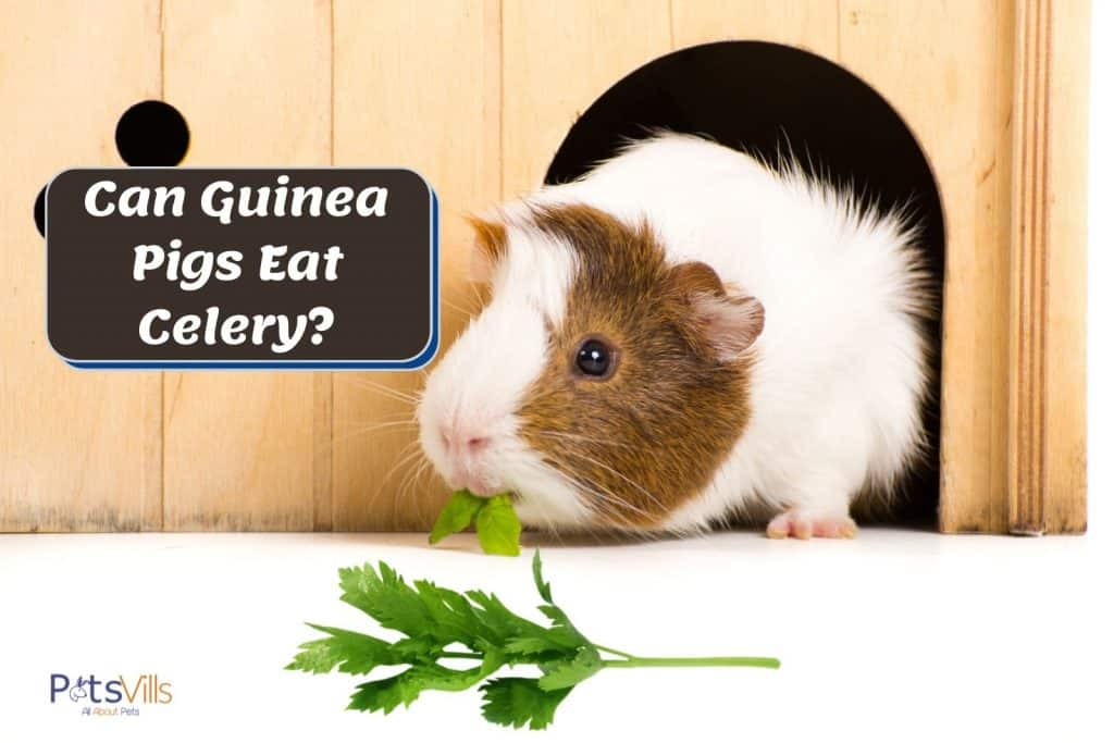 a cute guinea eating a green leaf in his wooden hutch. can guinea pigs eat celery?