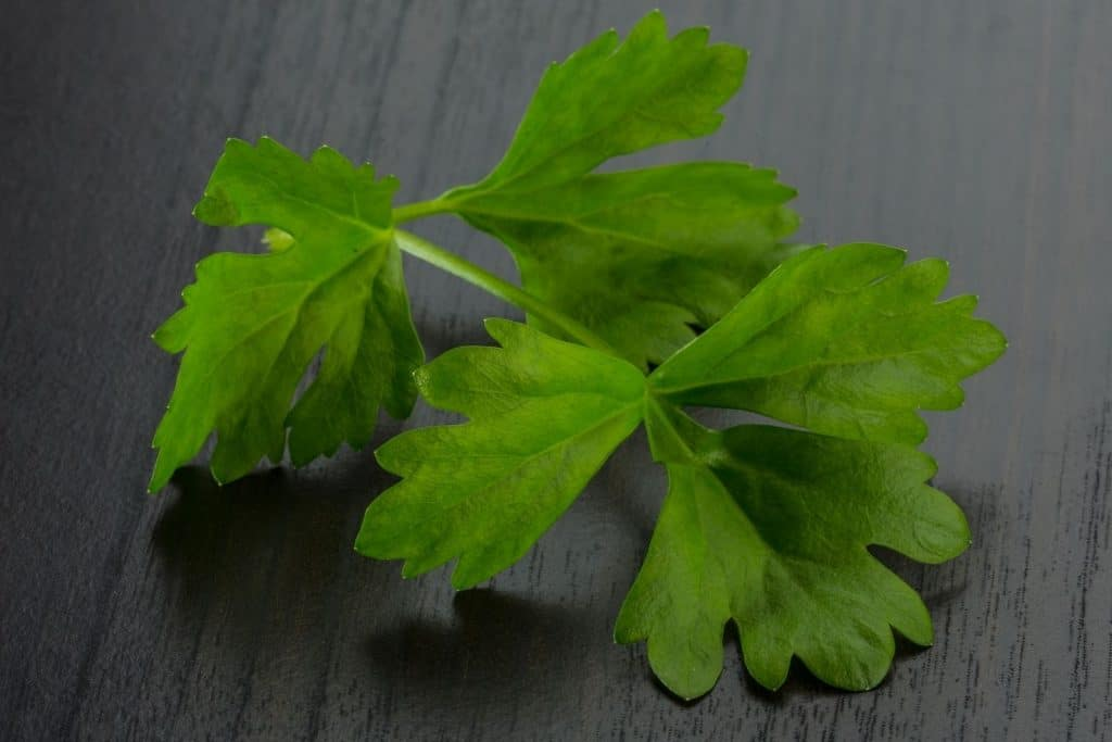 close-up shot of celery leaves. can guinea pigs eat celery leaves?