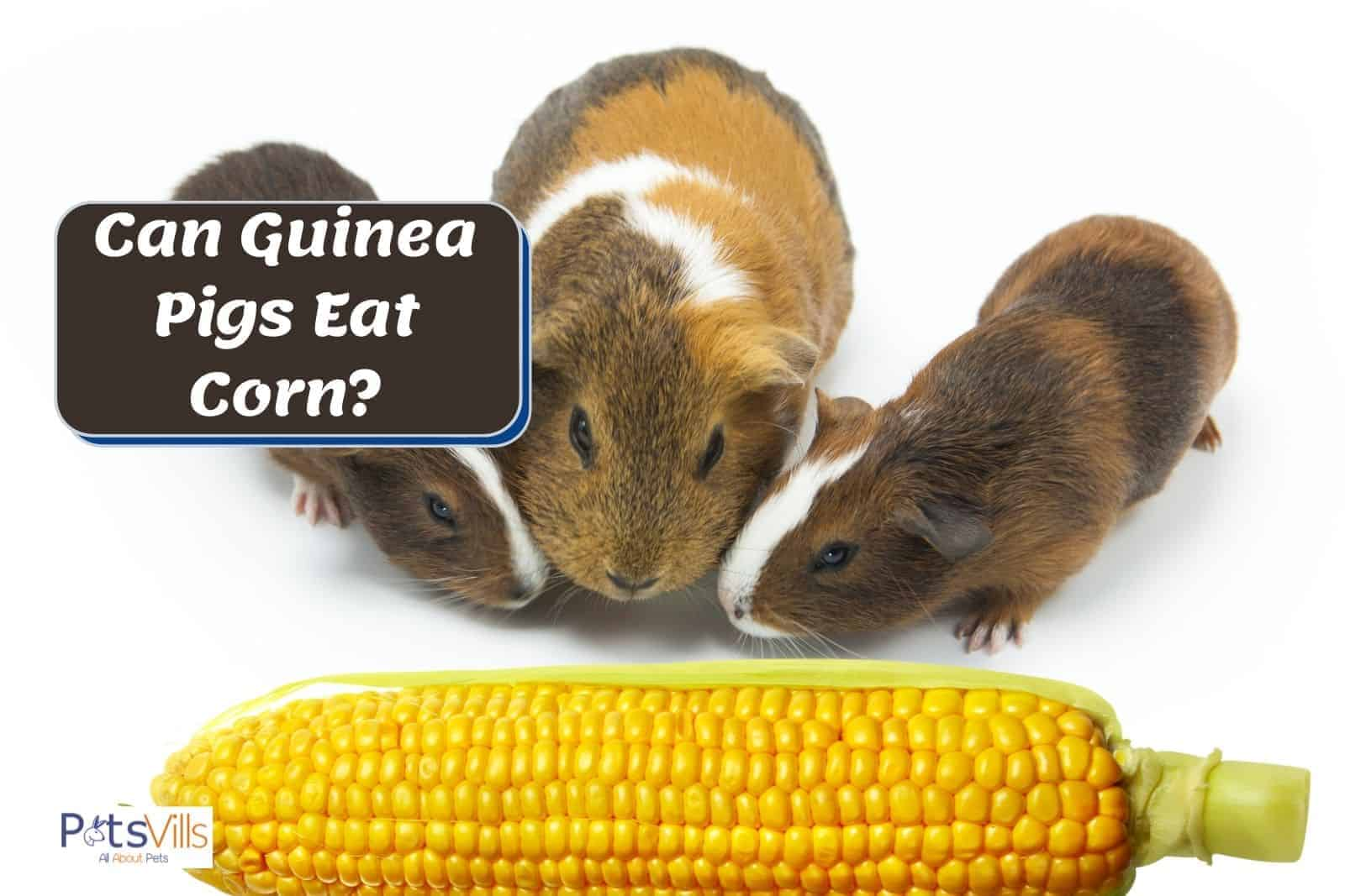 three guinea pigs smelling a corn but can guinea pigs eat corn?