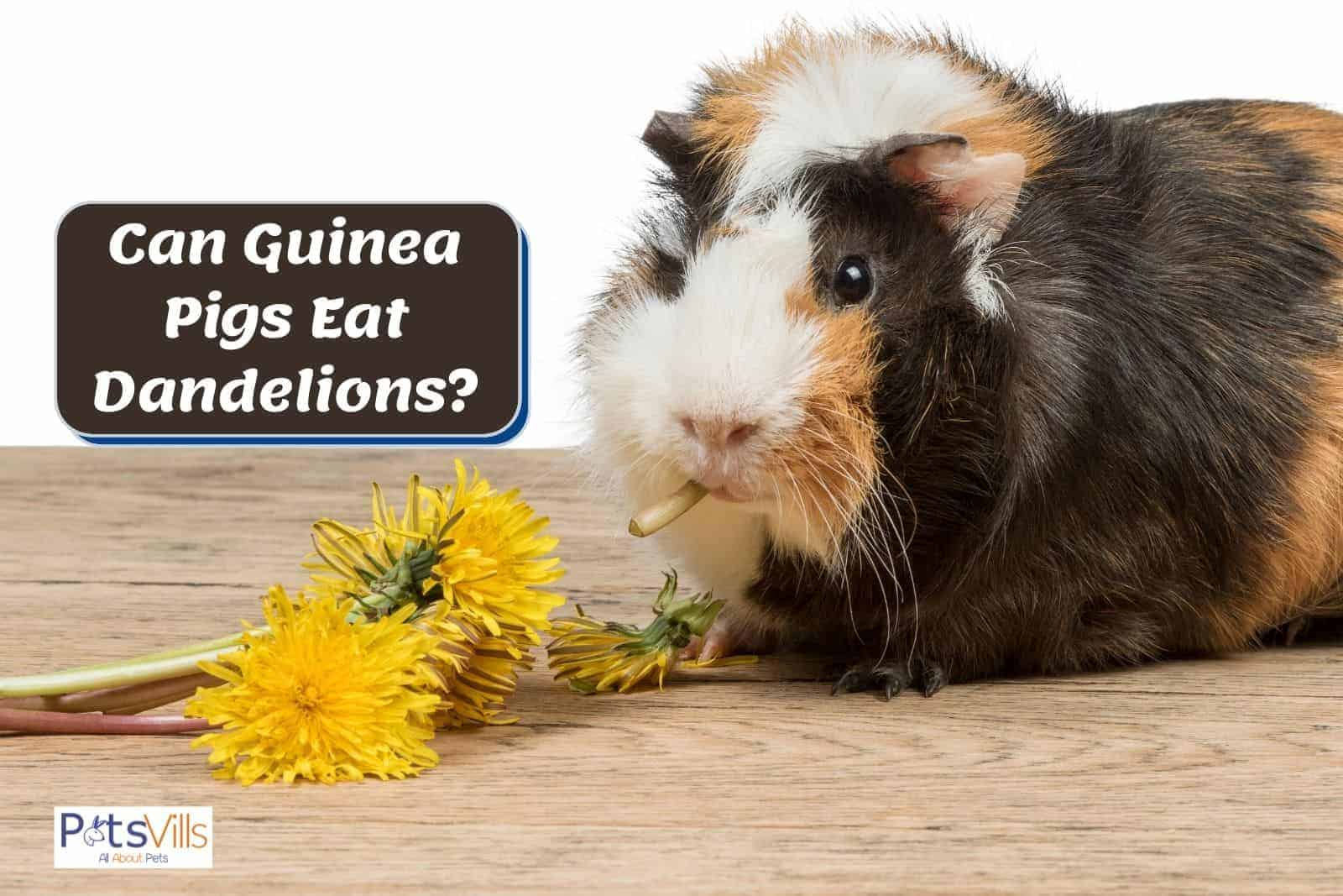 guinea pig chewing dandelion but can guinea pigs eat dandelions?