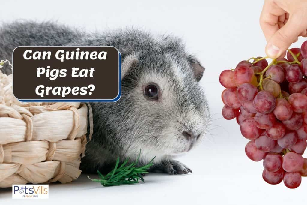 a hand holding a bunch of grapes giving to a cavy but can guinea pigs eat grapes?