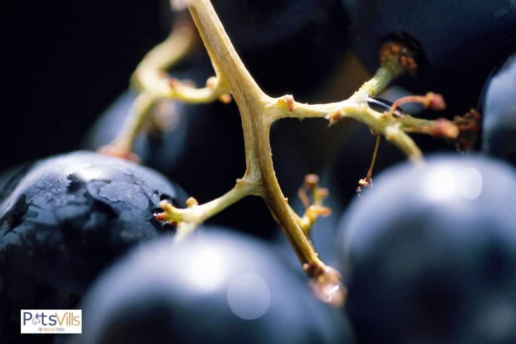 close-up shot of grape stems