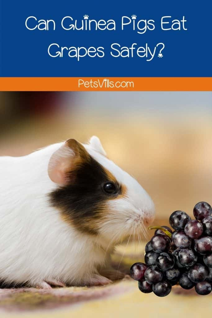 a white guinea pig smelling grapes but can guinea pigs eat grapes?