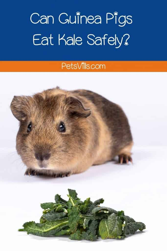 brown cavy looking at the kale