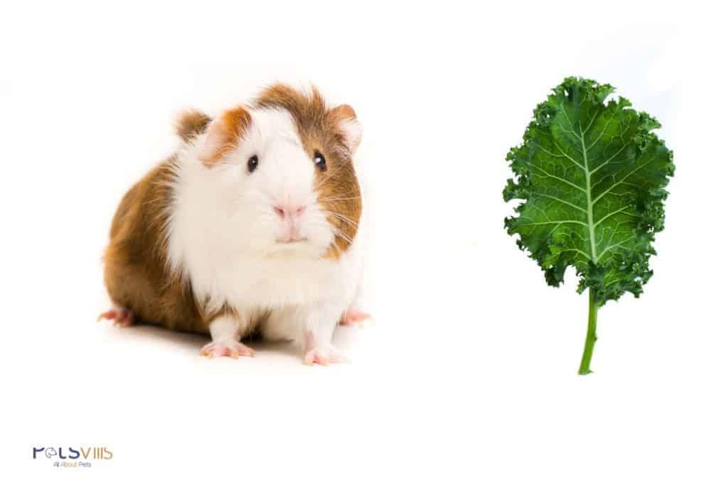 guinea pig beside a kale stem: can guinea pigs eat kale stem?