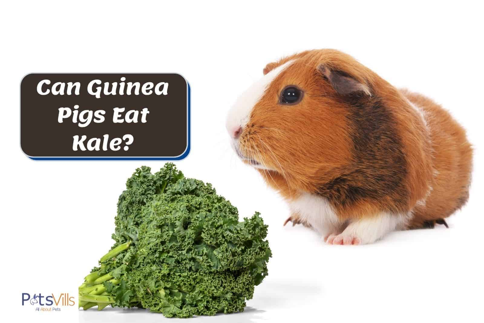 brown guinea pig and kale: can guinea pigs eat kale?