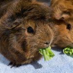 two brown cavies eating lettuce