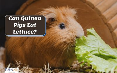 Can Guinea Pigs Eat Lettuce? Which Variety is Best?