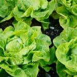 fresh butter lettuces. can guinea pigs eat butter lettuce?