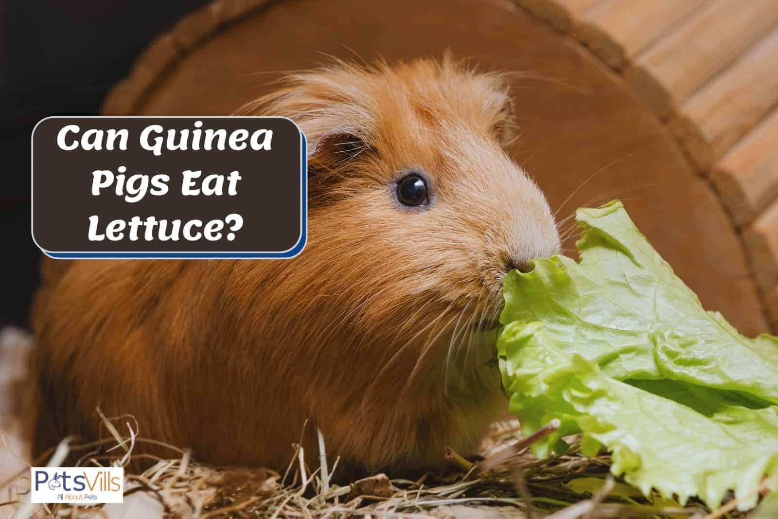 guinea pig smelling a lettuce but can guinea pigs eat lettuce?