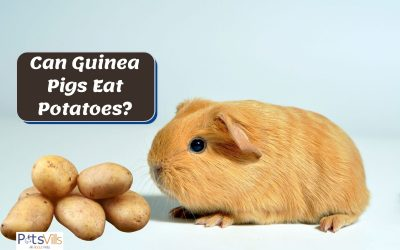 Can Guinea Pigs Eat Potatoes? Is it Safe or Dangerous?