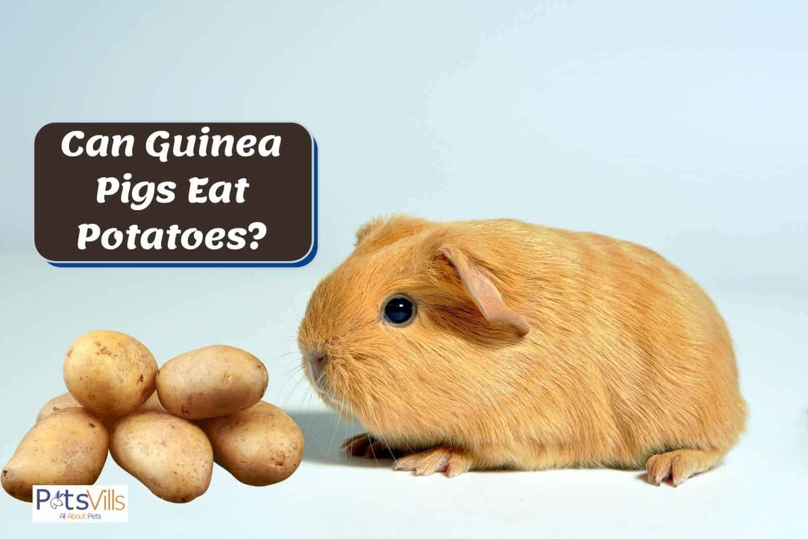 brown guinea pig smelling potatoes: can guinea pigs eat potatoes? Is it safe?