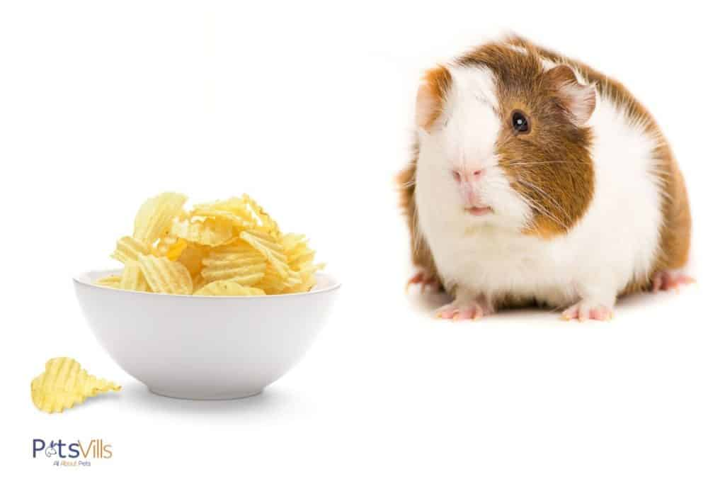 guinea pig with a bowl of potato chips