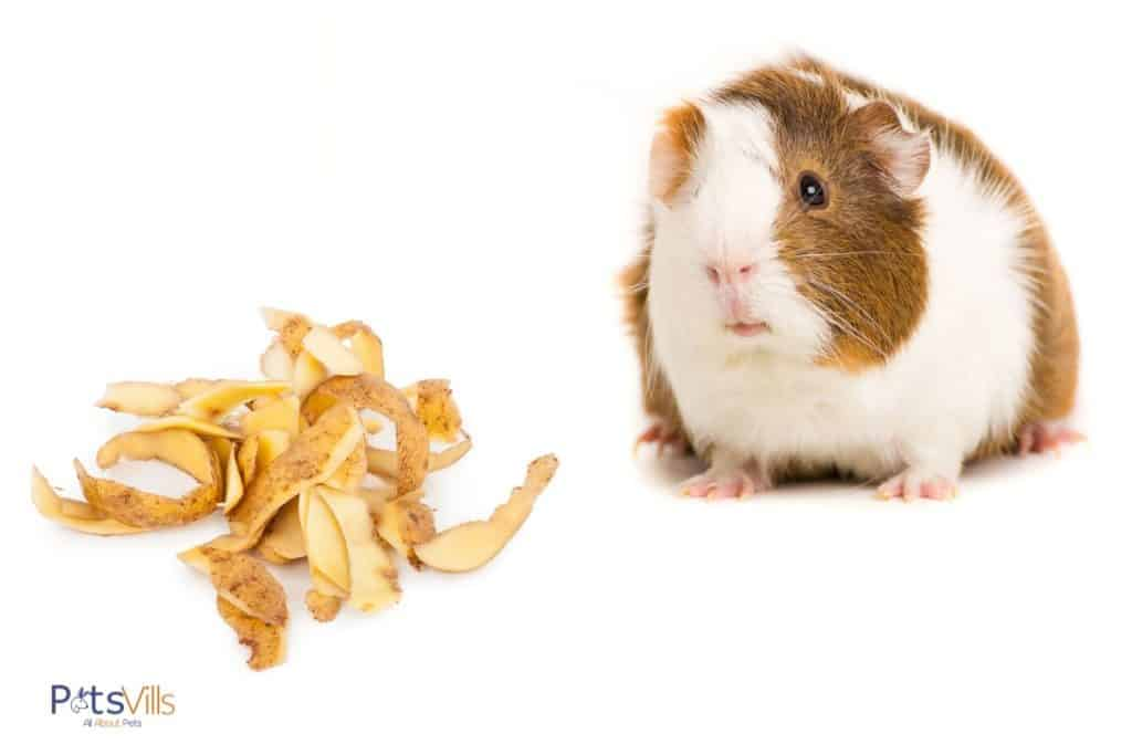 guinea pig beside potato peelings