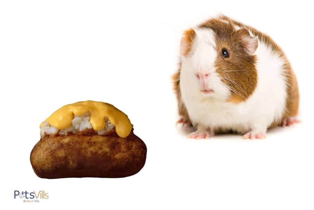guinea pig with baked potato with cheese on top