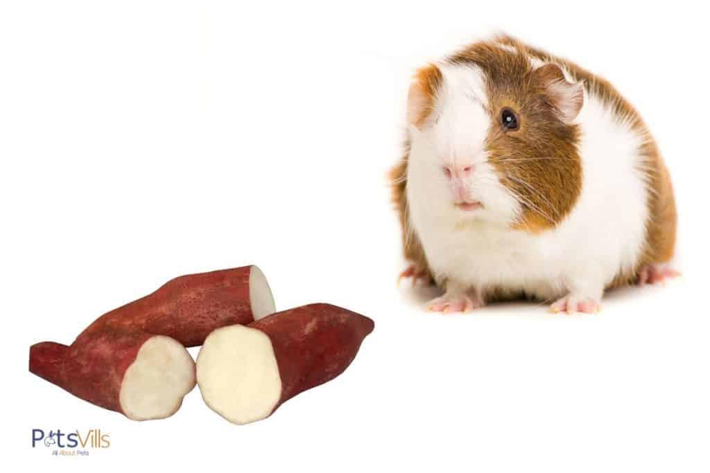 guinea pig and sweet potato