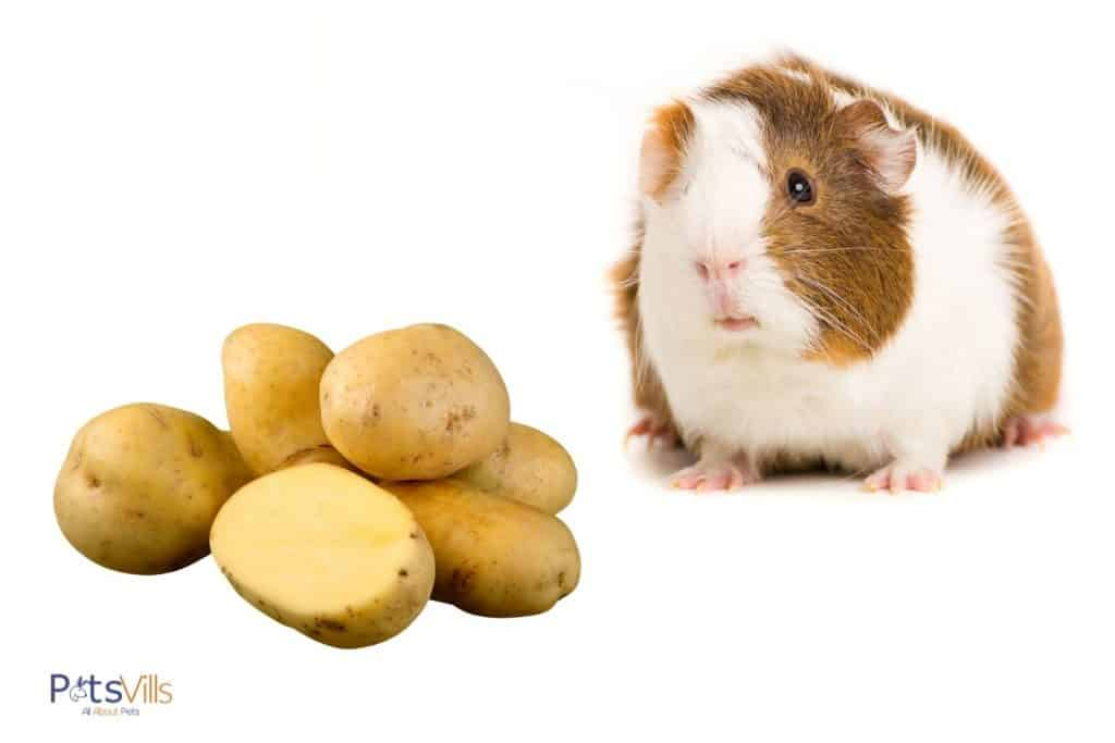 guinea pig and potatoes
