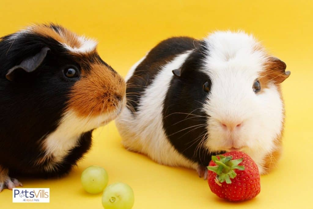 two guinea pigs about to eat grape and strawberry
